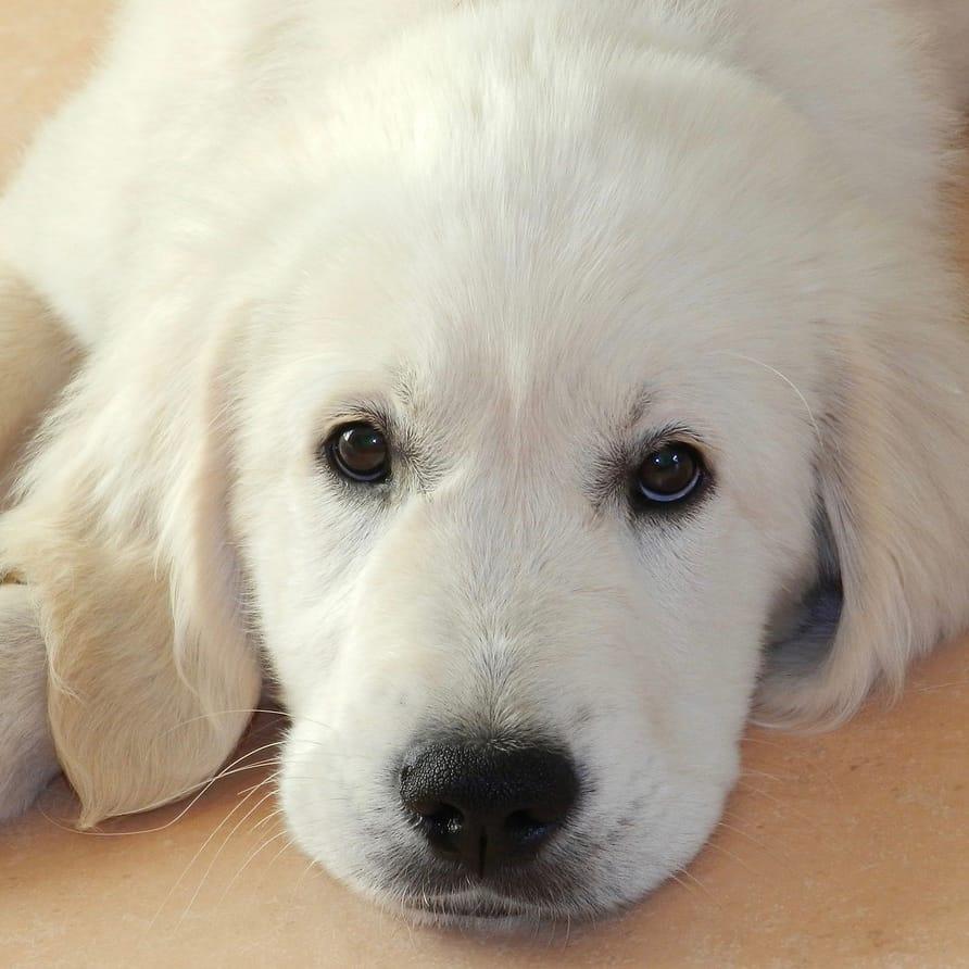 16 week old golden retriever puppy