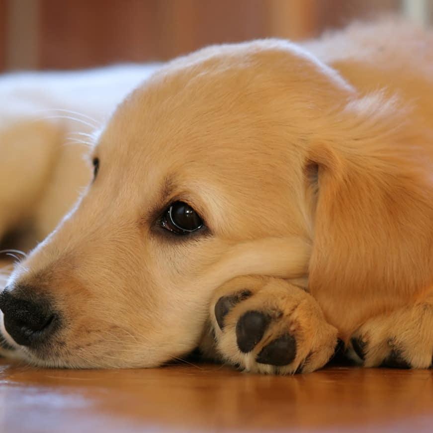 3 month old golden retriever puppy sleep