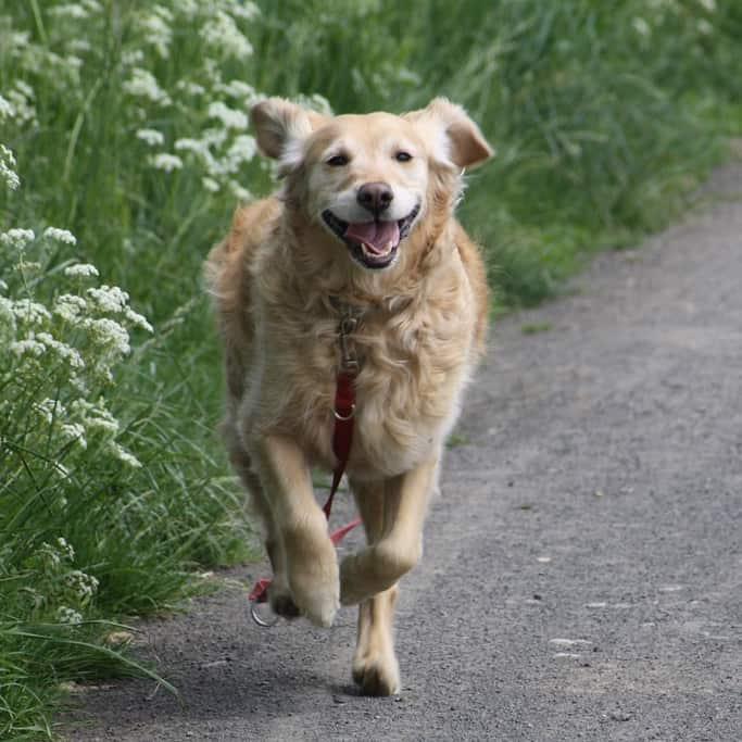 adopt a golden retriever iowa