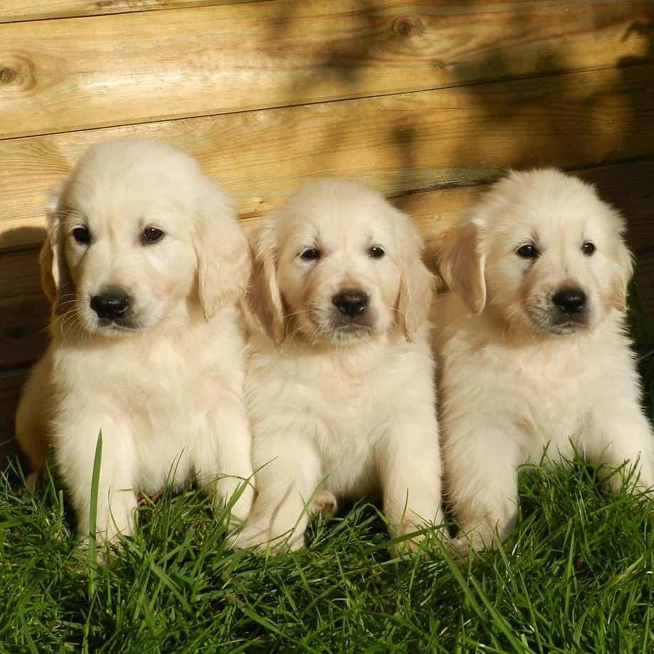 male vs female golden retriever puppy