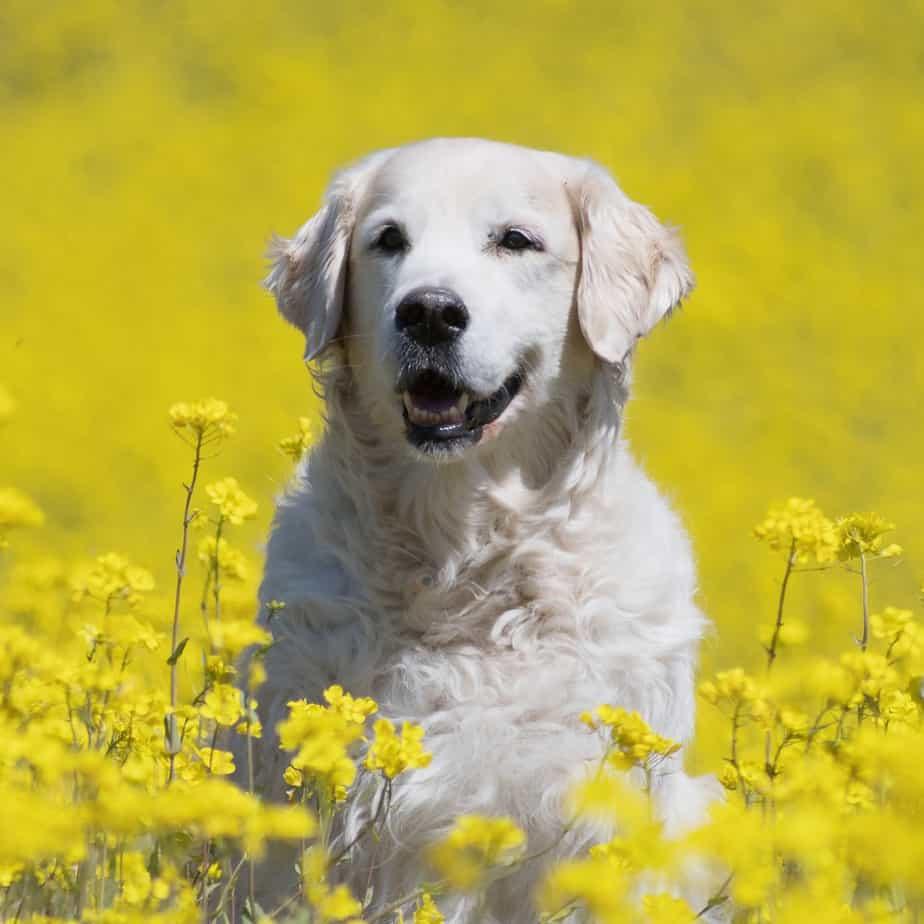 adopt a golden retriever missouri