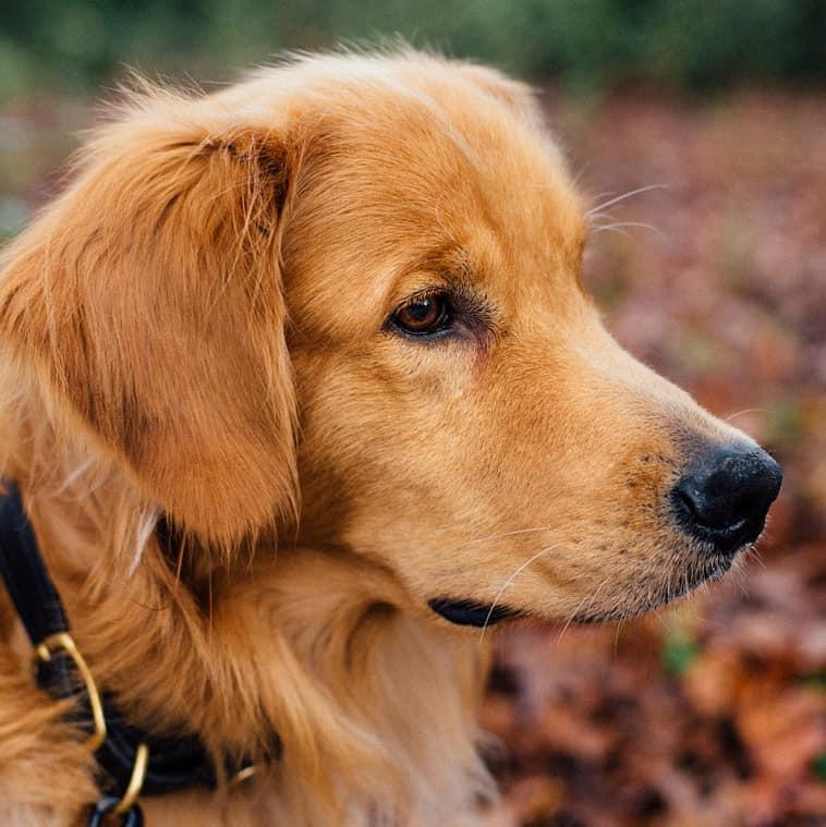 golden retriever ear care